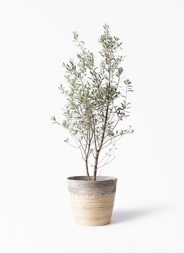 観葉植物 オリーブの木 10号 チプレッシーノ アルマ コニック 白 付き