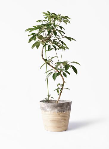 観葉植物 ツピダンサス 10号 曲り アルマ コニック 白 付き