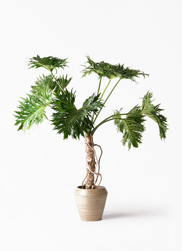 観葉植物 セローム ヒトデカズラ 8号 根あがり アルマ ミドル 付き
