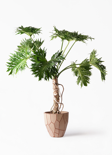 観葉植物 セローム ヒトデカズラ 8号 根あがり ウィスク 付き