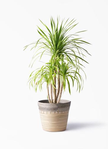 観葉植物 ドラセナ カンボジアーナ 8号 アルマ コニック 白 付き