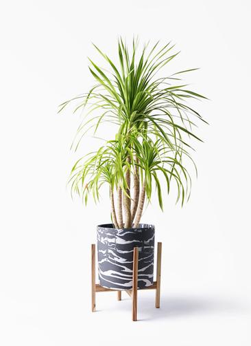 観葉植物 ドラセナ カンボジアーナ 8号 ホルスト シリンダー マーブル ウッドポットスタンド付き