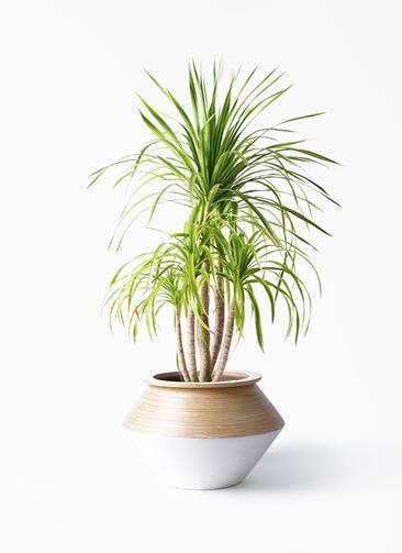 観葉植物 ドラセナ カンボジアーナ 8号 アルマジャー 白 付き