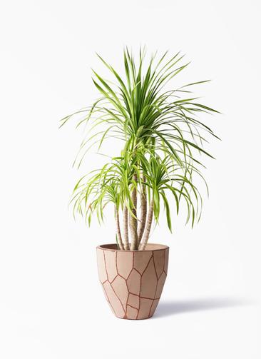 観葉植物 ドラセナ カンボジアーナ 8号 ウィスク 付き