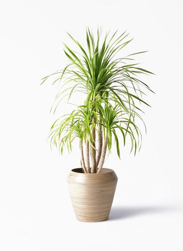 観葉植物 ドラセナ カンボジアーナ 8号 アルマ ミドル 付き