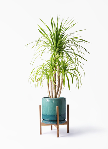 観葉植物 ドラセナ カンボジアーナ 8号 ビトロ エンデガ ターコイズ ウッドポットスタンド付き