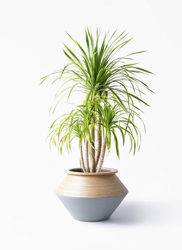 観葉植物 ドラセナ カンボジアーナ 8号 アルマジャー グレー 付き