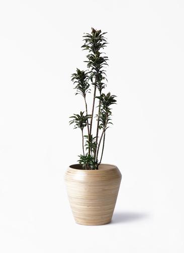 観葉植物 ドラセナ パープルコンパクタ 8号 アルマ ミドル 付き