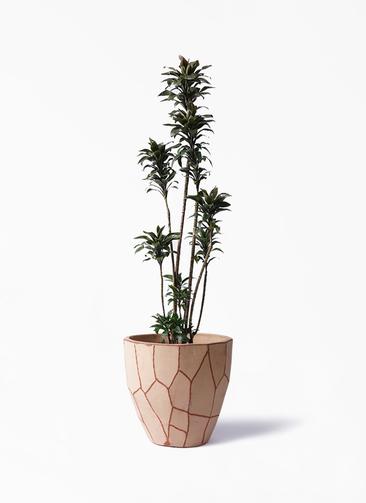 観葉植物 ドラセナ パープルコンパクタ 8号 ウィスク 付き