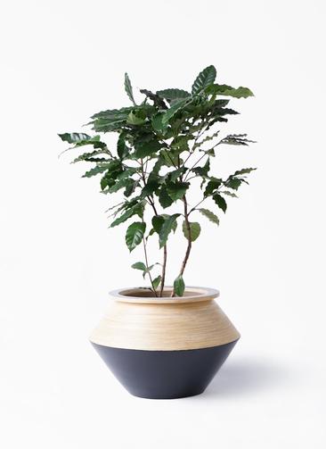 観葉植物 コーヒーの木 8号 アルマジャー 黒 付き