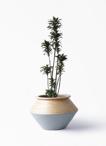 観葉植物 ドラセナ パープルコンパクタ 8号 アルマジャー グレー 付き