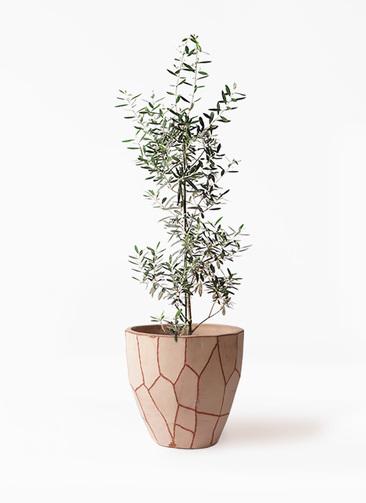 観葉植物 オリーブの木 8号 チプレッシーノ ウィスク 付き