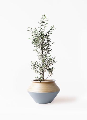 観葉植物 オリーブの木 8号 チプレッシーノ アルマジャー グレー 付き