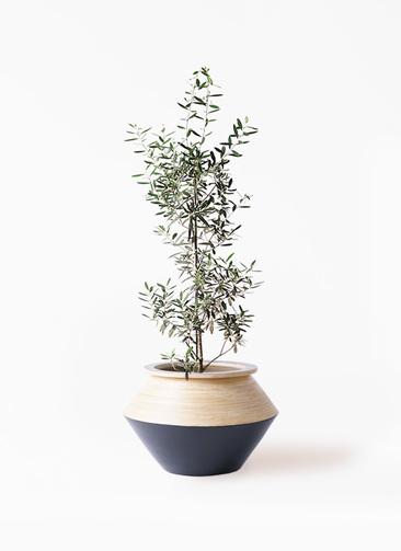 観葉植物 オリーブの木 8号 チプレッシーノ アルマジャー 黒 付き