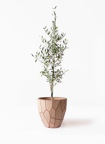 観葉植物 オリーブの木 8号 コロネイキ ウィスク 付き