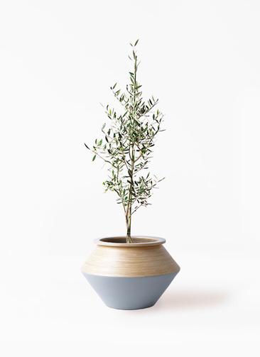 観葉植物 オリーブの木 8号 コロネイキ アルマジャー グレー 付き