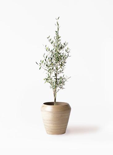 観葉植物 オリーブの木 8号 コロネイキ アルマ ミドル 付き