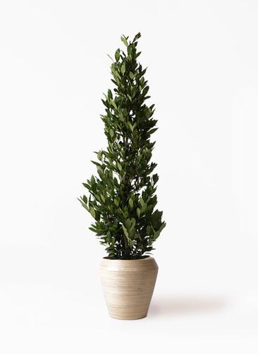 観葉植物 月桂樹 10号 アルマ ミドル 付き