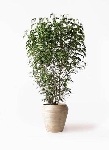 観葉植物 シマトネリコ 10号 アルマ ミドル 付き