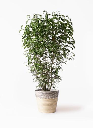観葉植物 シマトネリコ 10号 アルマ コニック 白 付き