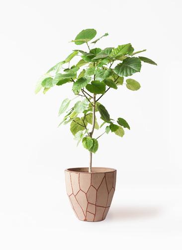 観葉植物 フィカス ウンベラータ 8号 ノーマル ウィスク 付き