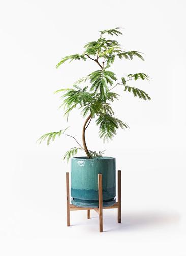 観葉植物 エバーフレッシュ 8号 曲り ビトロ エンデガ ターコイズ ウッドポットスタンド付き