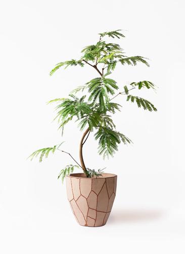 観葉植物 エバーフレッシュ 8号 曲り ウィスク 付き