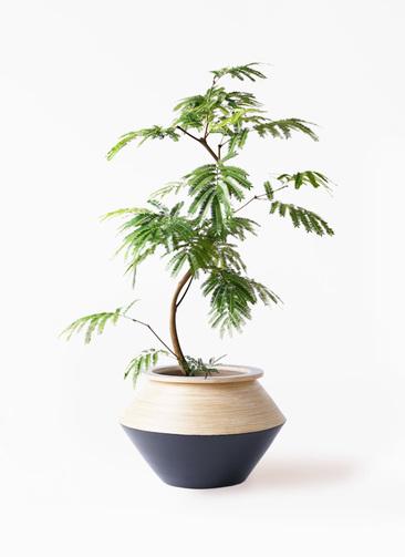 観葉植物 エバーフレッシュ 8号 曲り アルマジャー 黒 付き