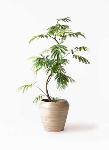 観葉植物 エバーフレッシュ 8号 曲り アルマ ミドル 付き