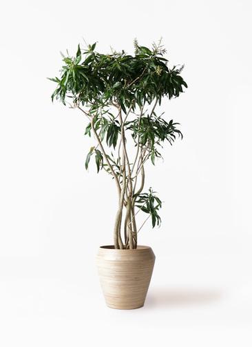 観葉植物 ドラセナ ソング オブ ジャマイカ 10号 アルマ ミドル 付き