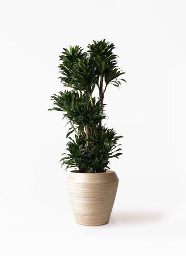 観葉植物 ドラセナ コンパクター 10号 アルマ ミドル 付き