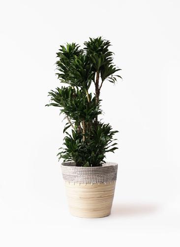 観葉植物 ドラセナ コンパクター 10号 アルマ コニック 白 付き