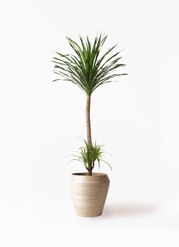 観葉植物 ドラセナ カンボジアーナ 10号 アルマ ミドル 付き