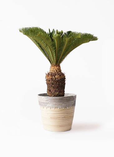 観葉植物 ソテツ 10号 アルマ コニック 白 付き