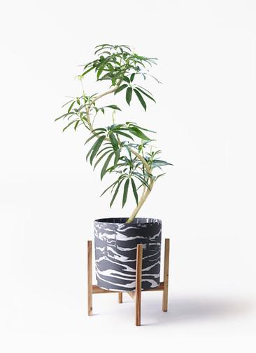 観葉植物 シェフレラ アンガスティフォリア 8号 曲り ホルスト シリンダー マーブル ウッドポットスタンド付き