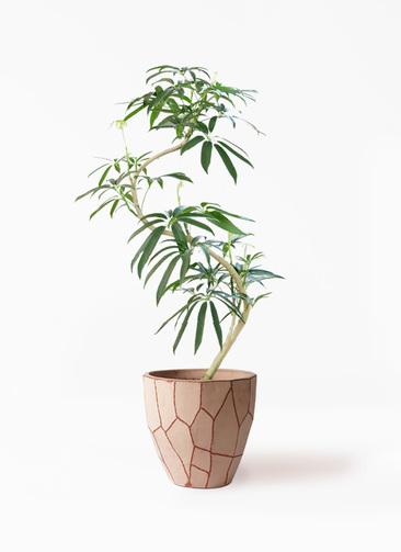 観葉植物 シェフレラ アンガスティフォリア 8号 曲り ウィスク 付き