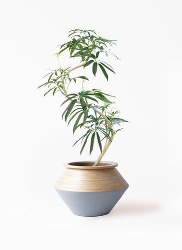 観葉植物 シェフレラ アンガスティフォリア 8号 曲り アルマジャー グレー 付き