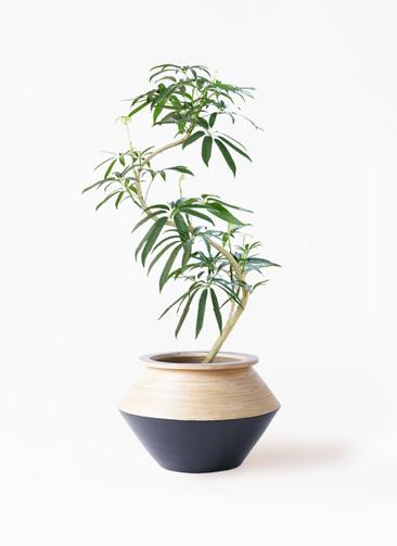 観葉植物 シェフレラ アンガスティフォリア 8号 曲り アルマジャー 黒 付き