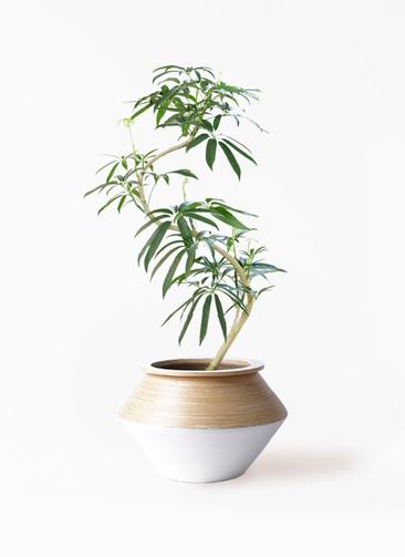 観葉植物 シェフレラ アンガスティフォリア 8号 曲り アルマジャー 白 付き