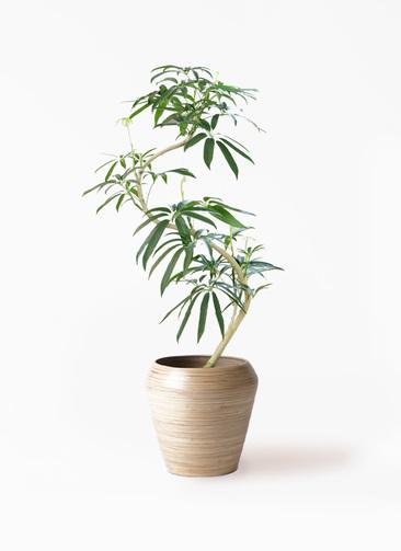 観葉植物 シェフレラ アンガスティフォリア 8号 曲り アルマ ミドル 付き
