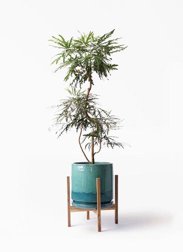 観葉植物 グリーンアラレア 8号 曲り ビトロ エンデガ ターコイズ ウッドポットスタンド付き