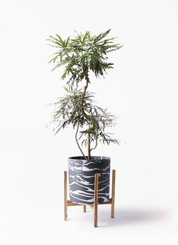 観葉植物 グリーンアラレア 8号 曲り ホルスト シリンダー マーブル ウッドポットスタンド付き