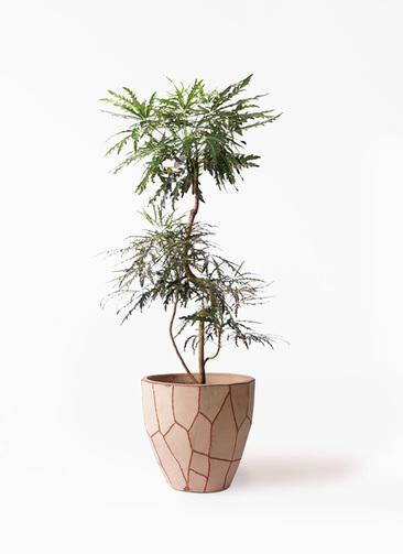 観葉植物 グリーンアラレア 8号 曲り ウィスク 付き