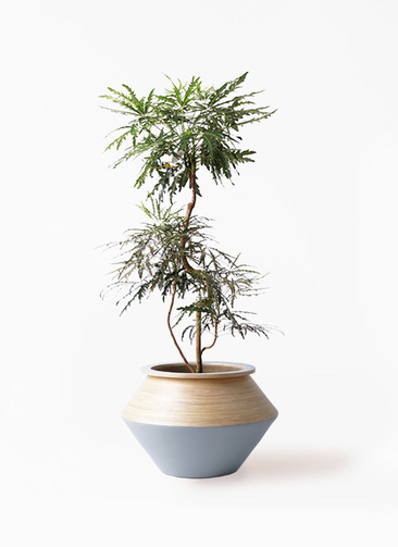観葉植物 グリーンアラレア 8号 曲り アルマジャー グレー 付き