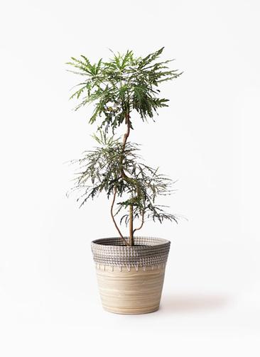観葉植物 グリーンアラレア 8号 曲り アルマ コニック 白 付き