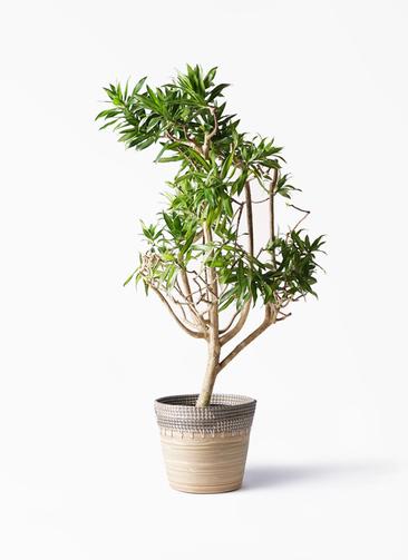 観葉植物 ドラセナ ソング オブ ジャマイカ 8号 アルマ コニック 白 付き