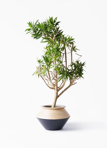 観葉植物 ドラセナ ソング オブ ジャマイカ 8号 アルマジャー 黒 付き