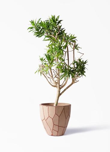 観葉植物 ドラセナ ソング オブ ジャマイカ 8号 ウィスク 付き