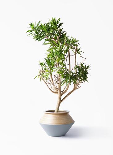観葉植物 ドラセナ ソング オブ ジャマイカ 8号 アルマジャー グレー 付き