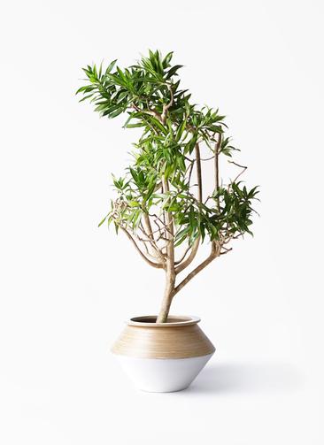 観葉植物 ドラセナ ソング オブ ジャマイカ 8号 アルマジャー 白 付き